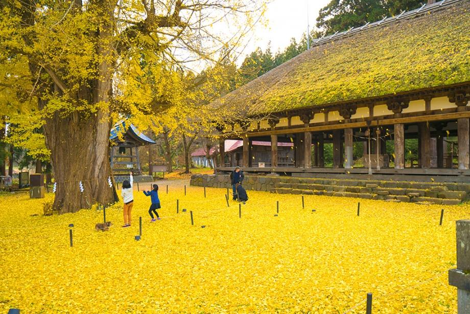 喜多方。神宮熊野神社長床|800年大銀杏樹的金秋美景