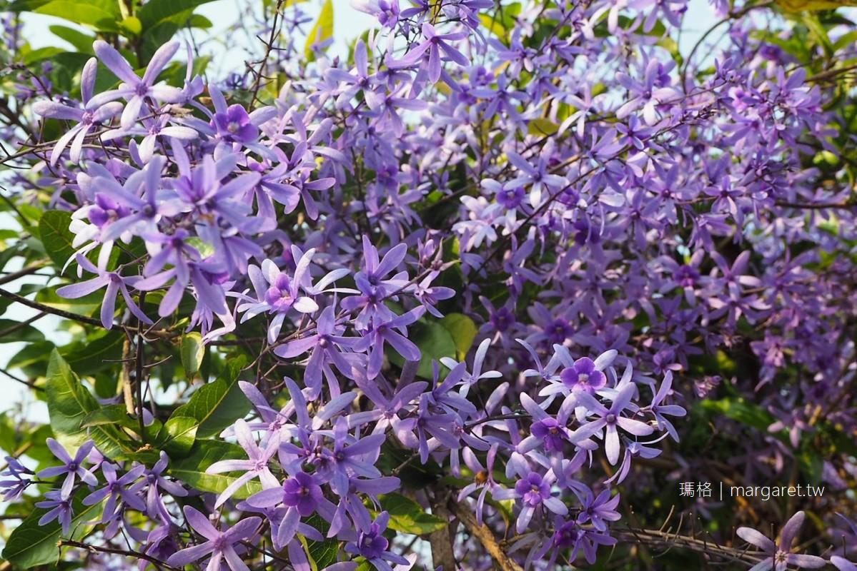 南投中寮錫葉藤。六七一茶花園紫色花牆成絕響 3/12最後一眼