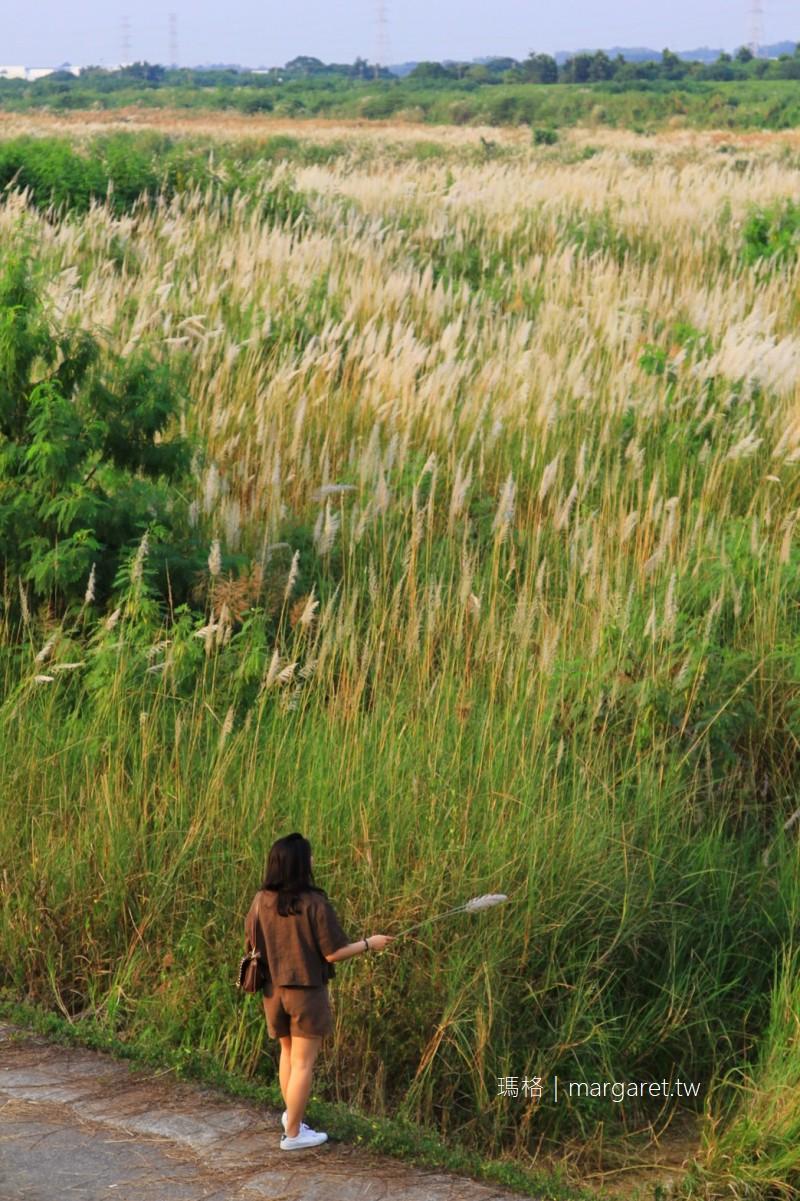 台南大內甜根子草花海。曾文溪畔浪漫秋景|比管芒花更早開