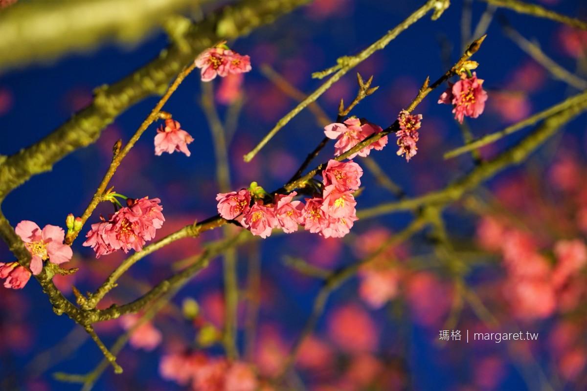 彌陀禪寺。八重櫻盛開了|阿里山賞櫻景點