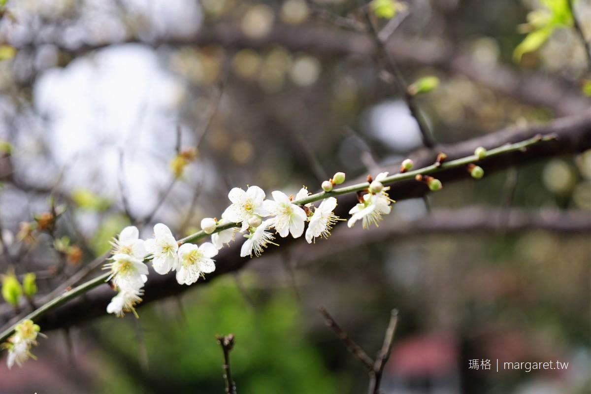 雙溪公園梅花盛開。江南庭園之美|台北獵梅行動首部曲  #隊長遊記
