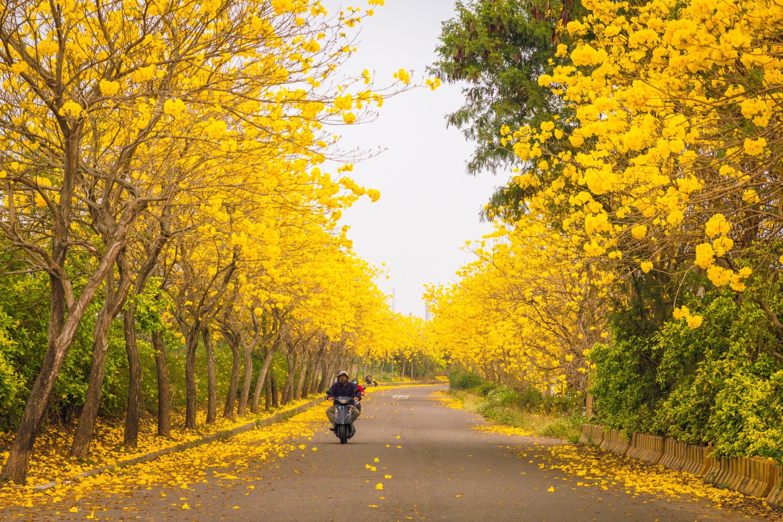 嘉義八掌溪堤防黃金風鈴花開了|散步、騎單車的好地方