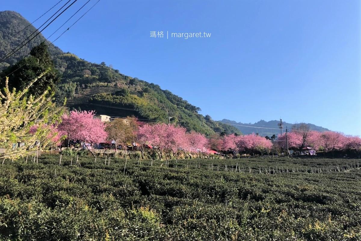 2021草坪頭櫻花季。桃李爭春櫻花大爆發|茶園、油菜花、玉山同框之美