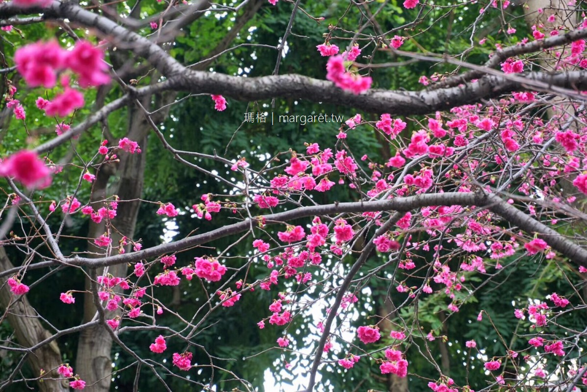 四平公園。伊通街櫻花開了|台北賞櫻景點 #隊長遊記