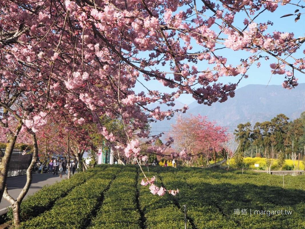 2021草坪頭櫻花季。桃李爭春櫻花大爆發|茶園、油菜花田、玉山同框之美