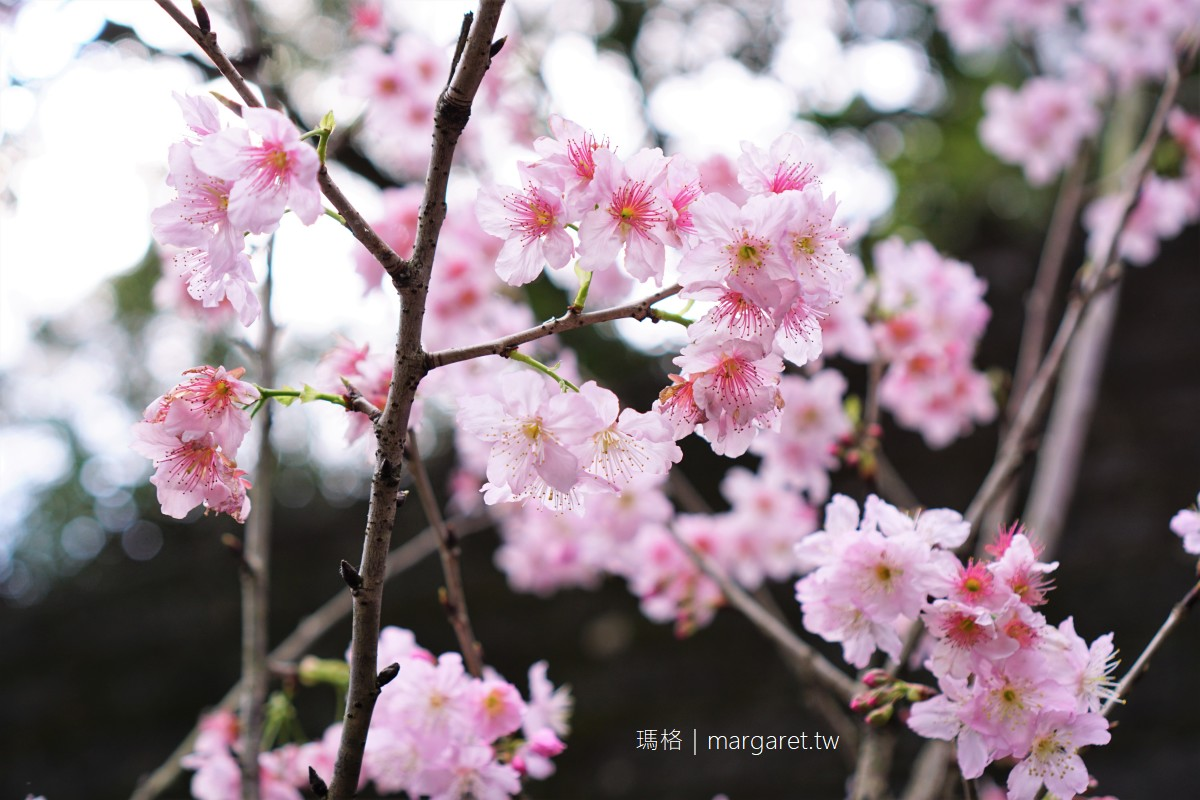 碧山巖櫻花隧道滿開。內湖最美粉紅風暴|浪漫情景不輸日本 (2/16實訪拍攝)