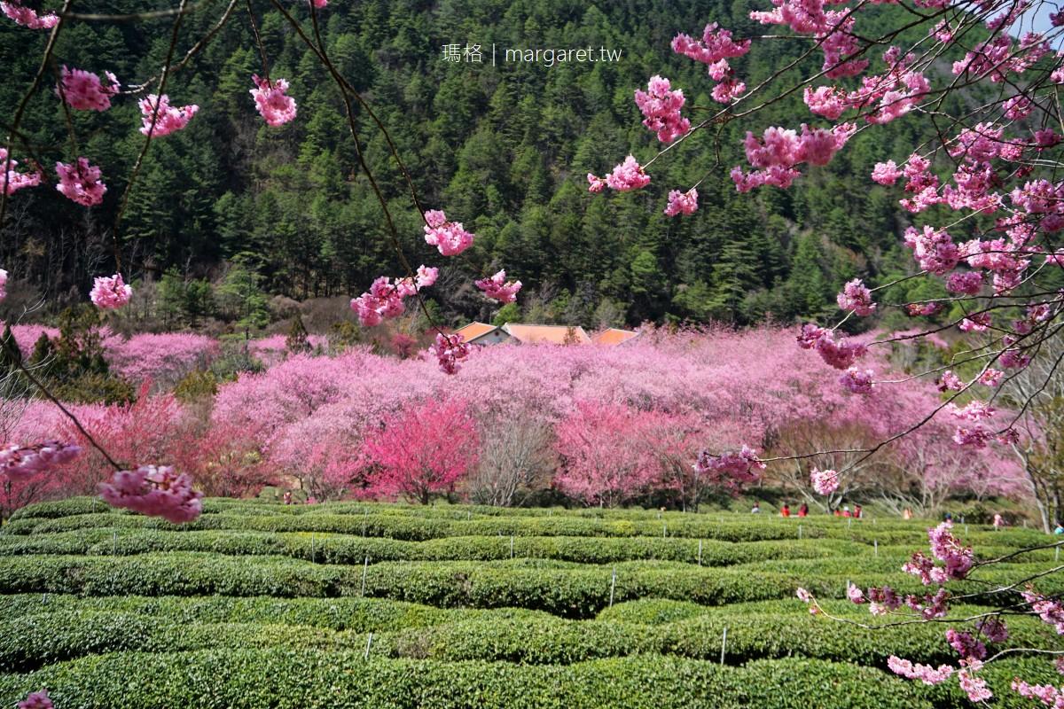 最新推播訊息:武陵農場紅粉佳人滿開美炸!2/24花況即時報