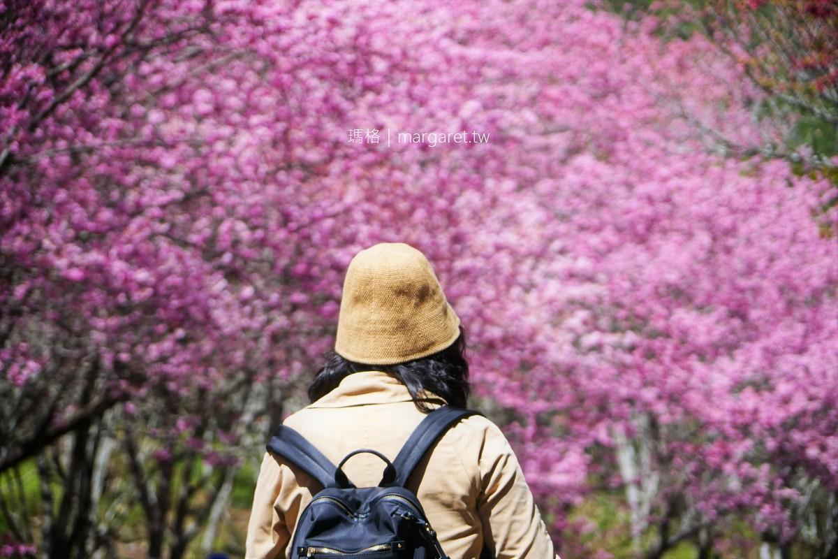 武陵農場賞櫻專車。賞櫻一日遊|紅粉佳人櫻花滿開2/24即時報