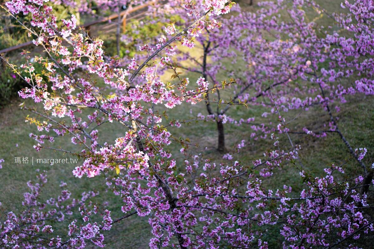 阿里山公路山櫻綻放。隙頂河津櫻花園滿開 象山觀景台