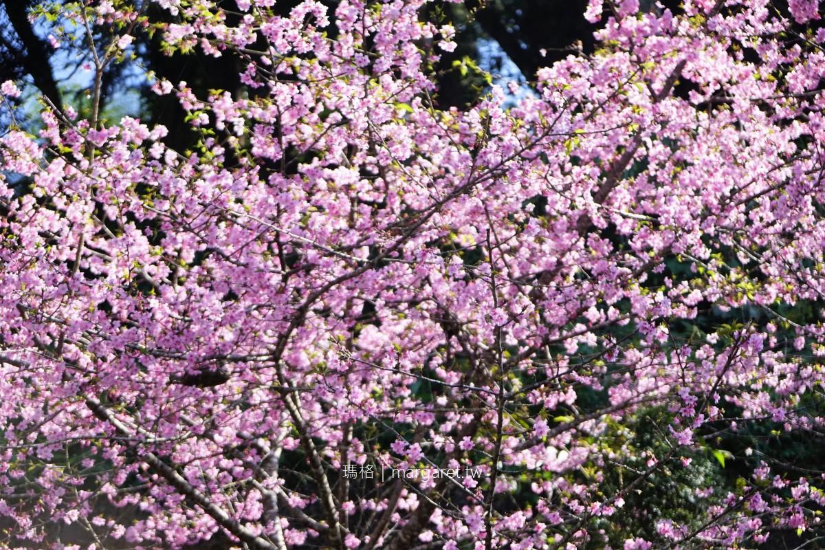 石棹賞櫻。阿里山公路旁櫻花林|通往私人茶園的入口