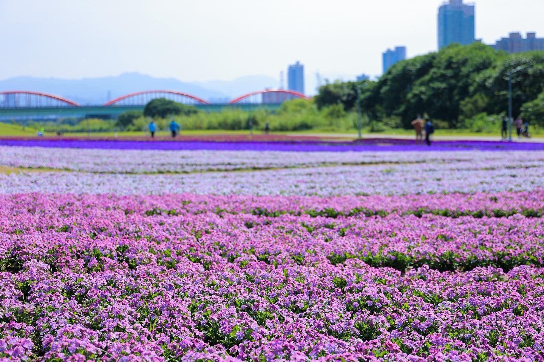 最新推播訊息:新店溪畔紫色花海。花期至3月下旬。致敬日本芝櫻季