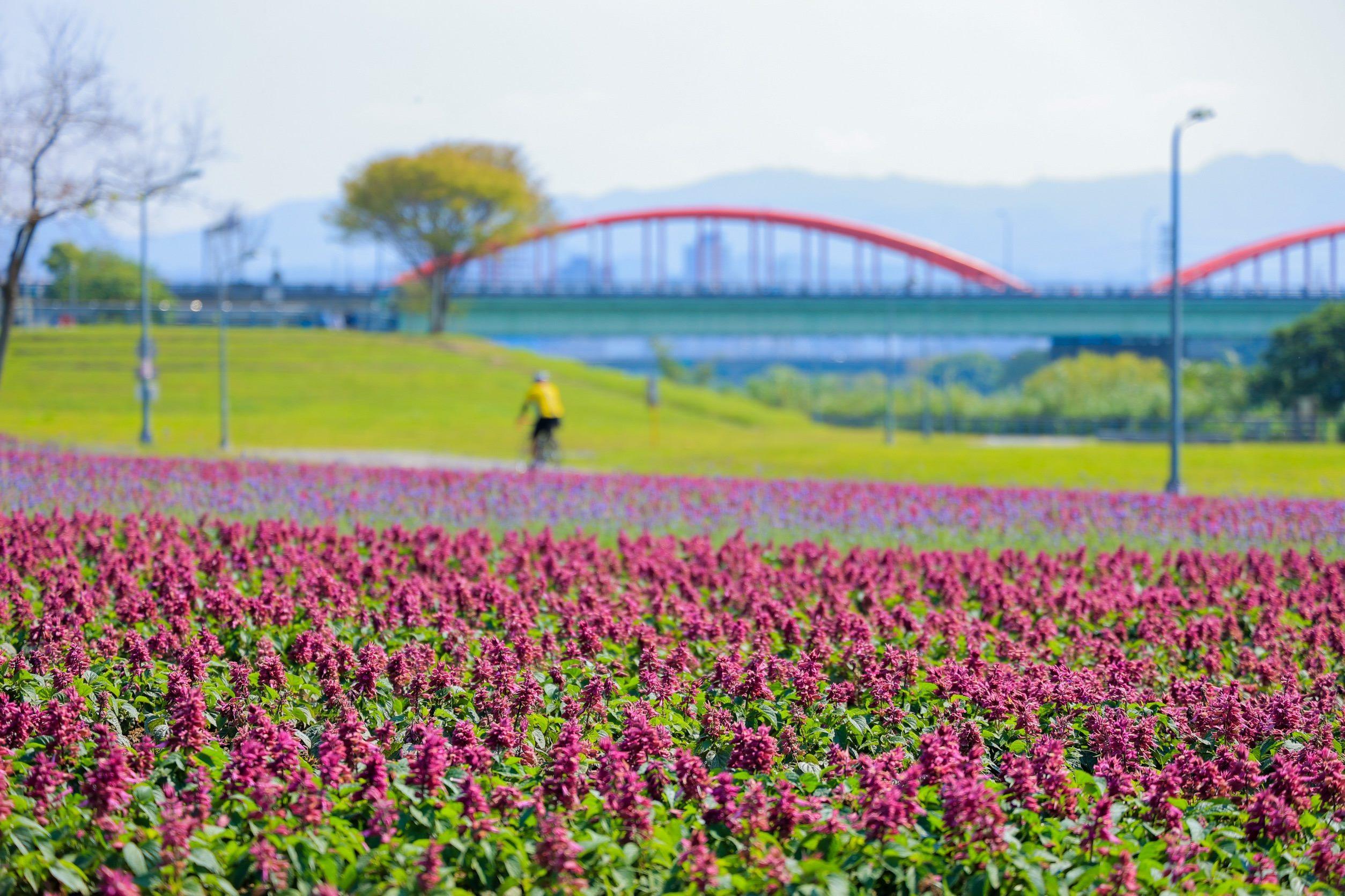 古亭河濱公園。新店溪畔紫色花海 13萬盆草花觀賞期至3月下旬