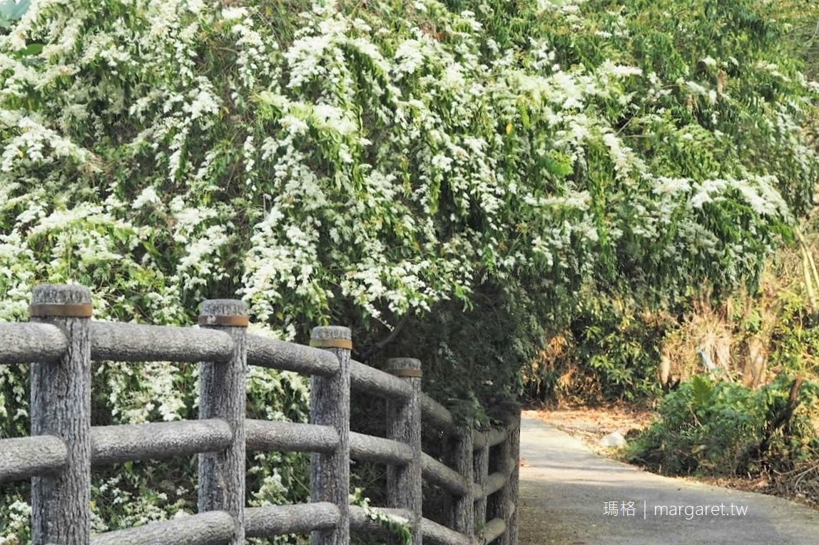 竹山三月雪。垂枝女貞3/16花況|下坪吊橋旁九重葛盛開超搶鏡