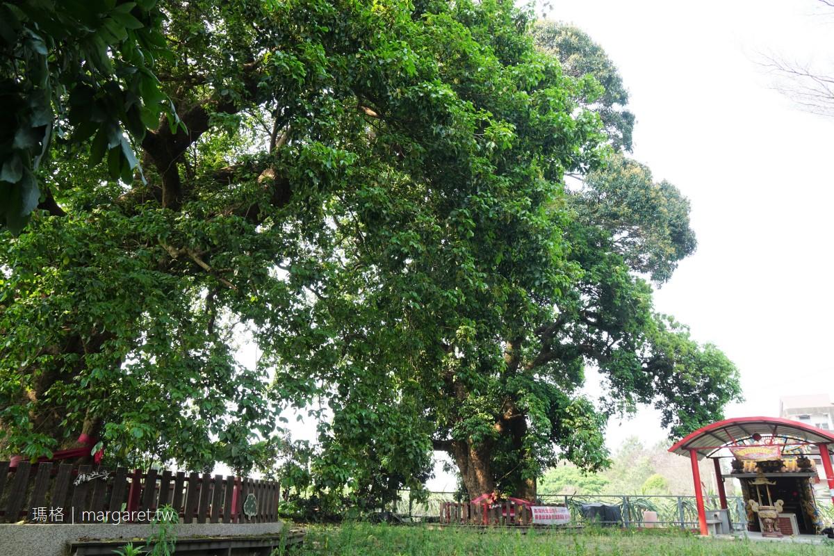 冷水坑茄苳公。南投竹山200年傳奇神樹|舊巷老屋前盛放的九重葛