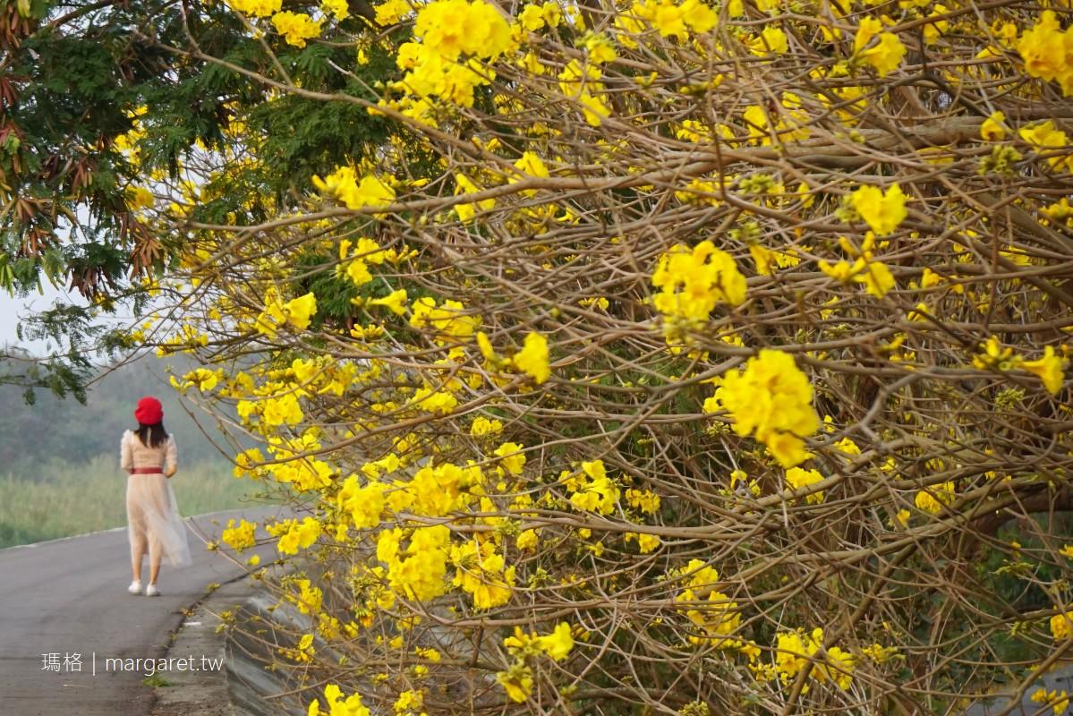 嘉義大林黃金風鈴木。綿延3公里陳井寮堤防|與花海並肩畫面更好拍更浪漫。3/9花況