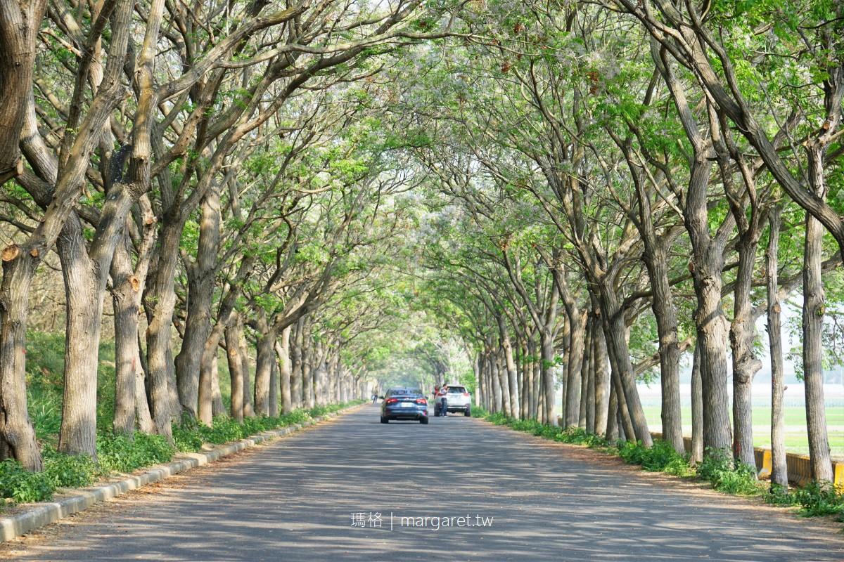全台最長苦楝綠色隧道。朴子溪淺紫樹花綿延2公里|嘉義六腳鄉灣北社區