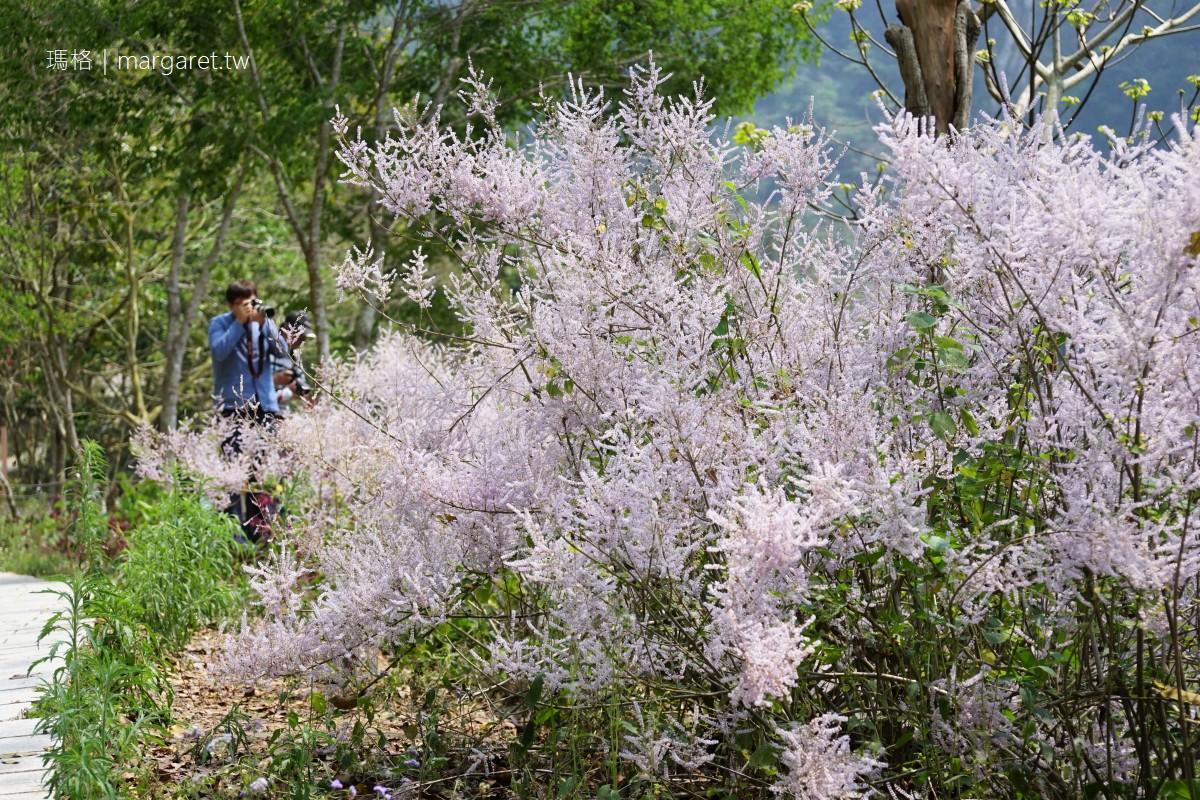 雲林奇景。萬年峽谷夢幻粉紫花海|岩壁峽谷旁的麝香木林