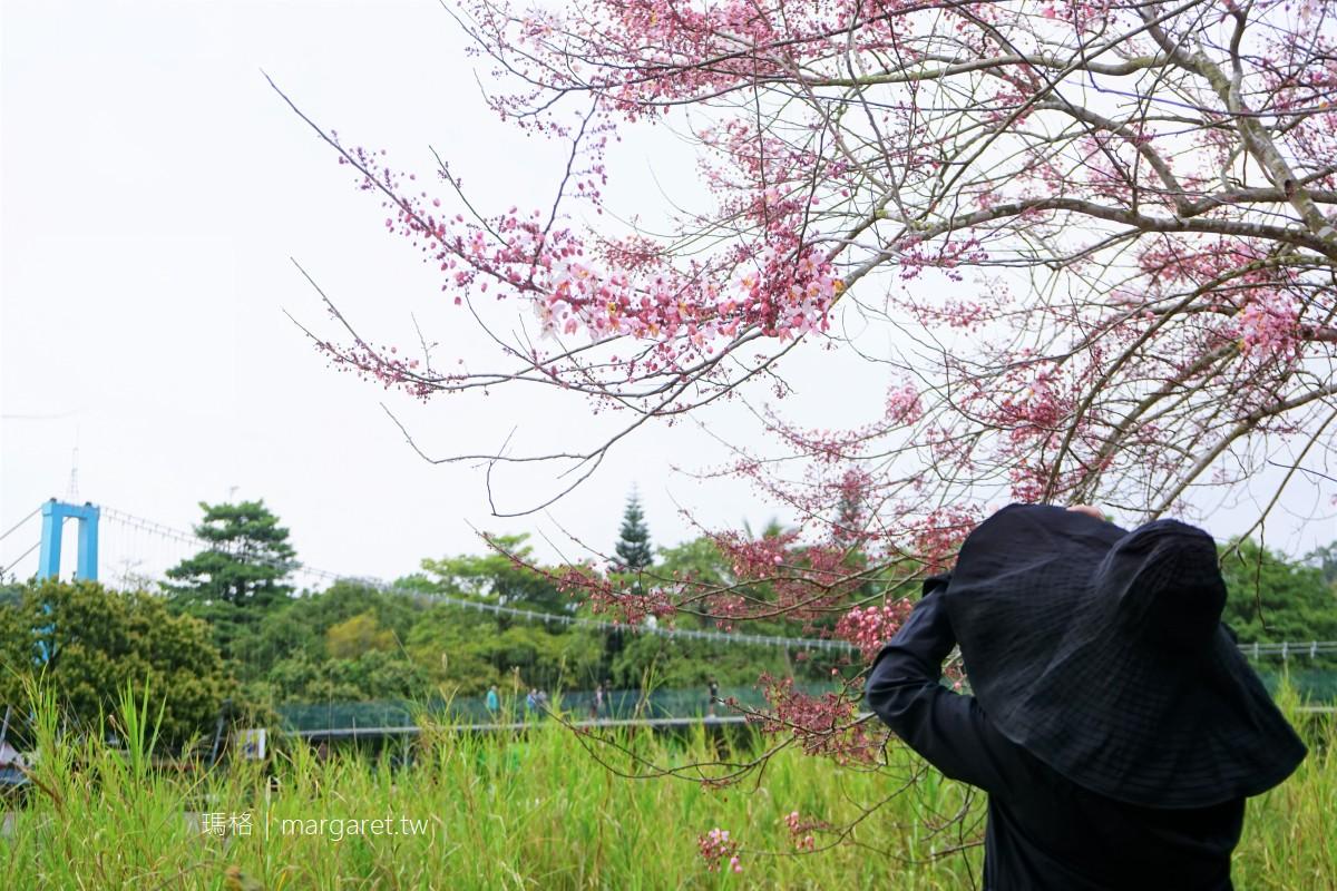 竹崎親水公園。風鈴木開完花旗木登場|阿里山腳下春暖花開3/28花況