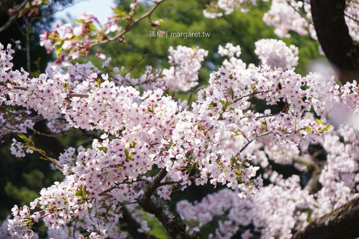 祝山觀日觀景台。染井吉野櫻盛開|3/29花況比阿里山櫻王更佳