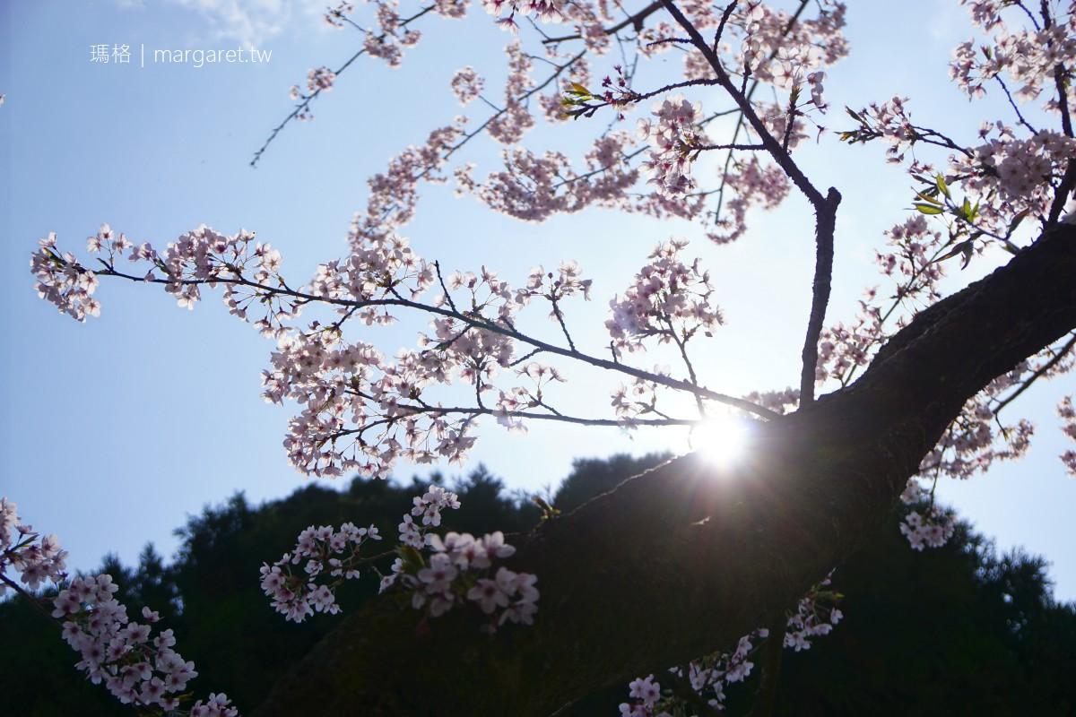 祝山日出觀景台。染井吉野櫻盛開|3/29花況比阿里山櫻王更佳