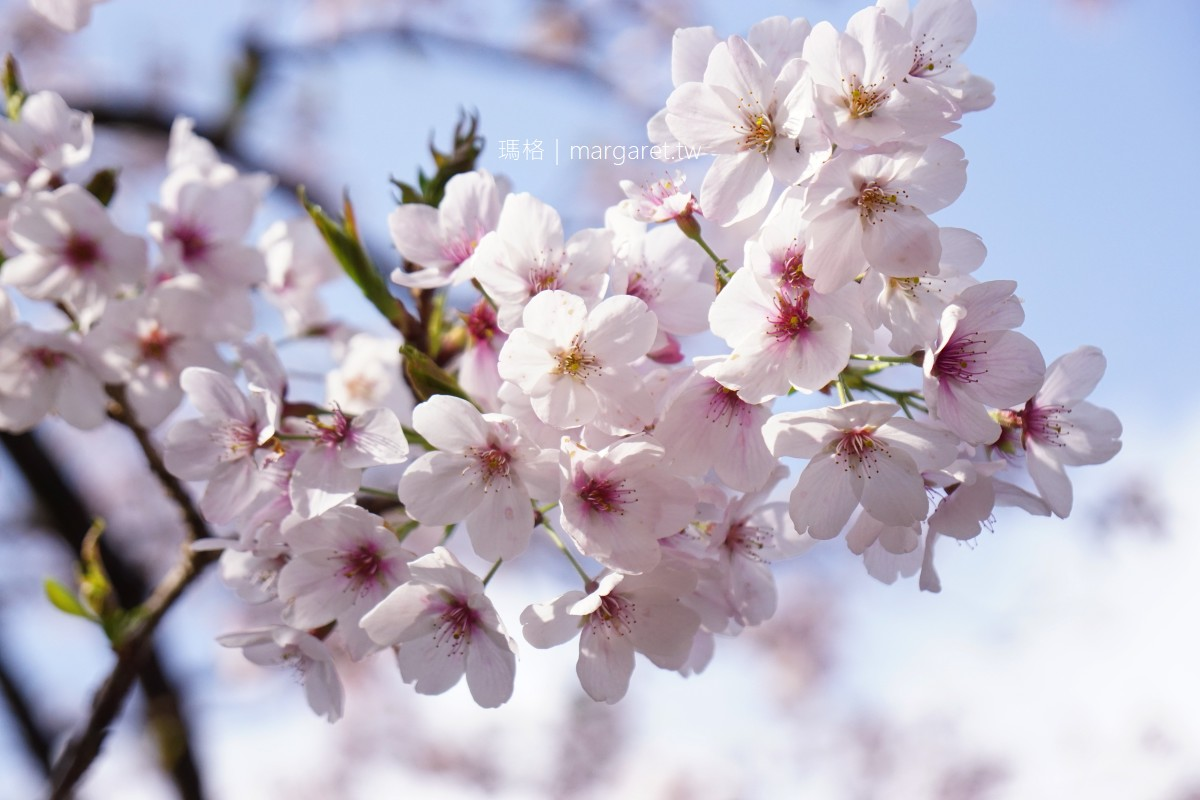 參見櫻王。櫻后殿下在哪裡呢?|阿里山工作站櫻花園、櫻木花道