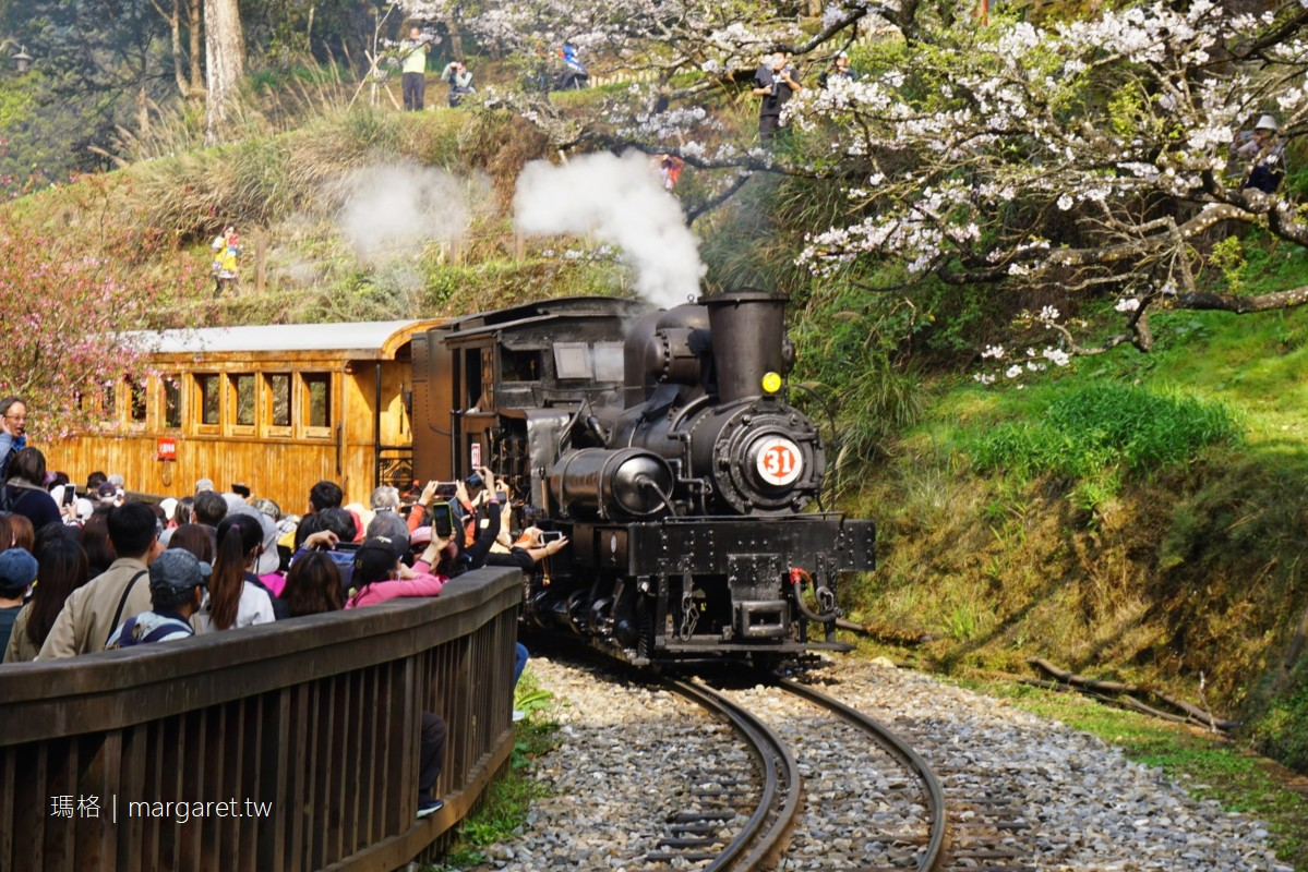 櫻花與百年SL-31蒸汽火車同框。2021阿里山櫻花季限定行程|沼平公園驚喜的巧遇