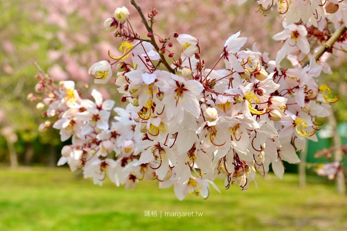 鹿鳴酒店花旗木。平地櫻花季開放外客賞花|桃紅陣雨樹下野餐