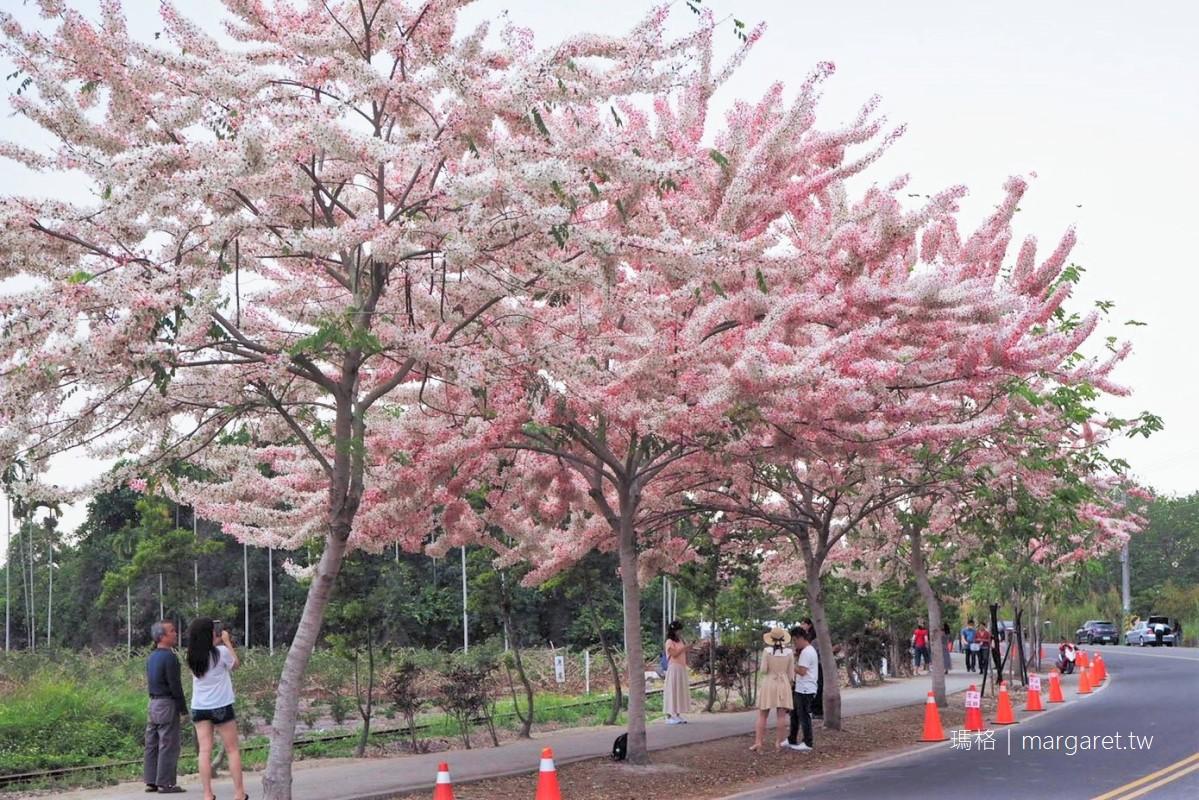 彰化二水花旗木。平地櫻花與集集鐵道同框 拍到火車才是王道