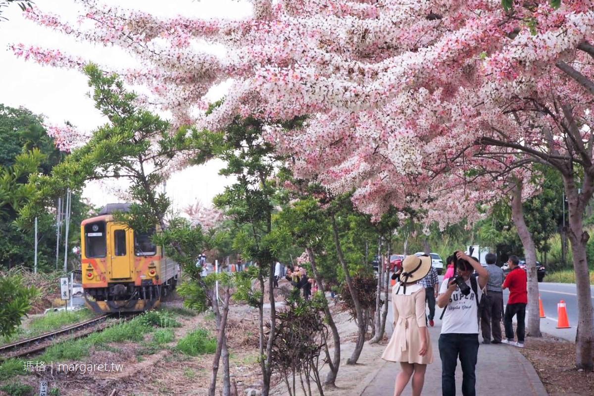 彰化二水花旗木。平地櫻花與集集鐵道同框|拍到火車才是王道