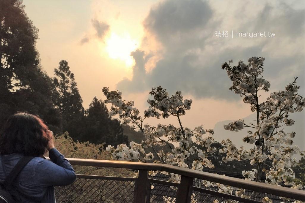 森之道觀景台。夕陽雲海與櫻花同框|阿里山森林遊樂園地圖上沒標註的景點