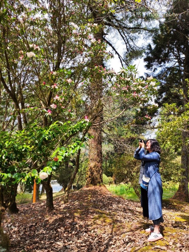 高山植物園。台灣特有種玉山杜鵑竟有2層樓高|阿里山最幽靜的賞花景點