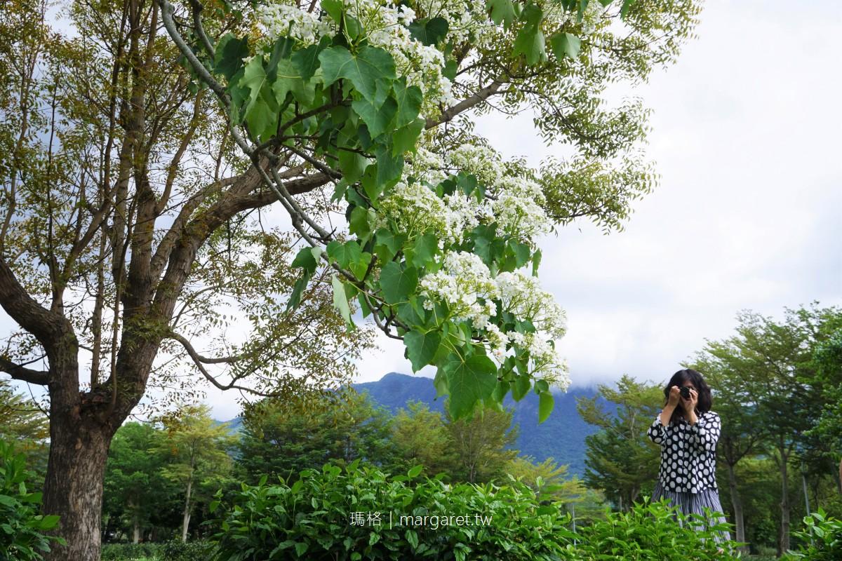 龍田桐花大道。台東四月雪|台灣最早開花的桐花景點