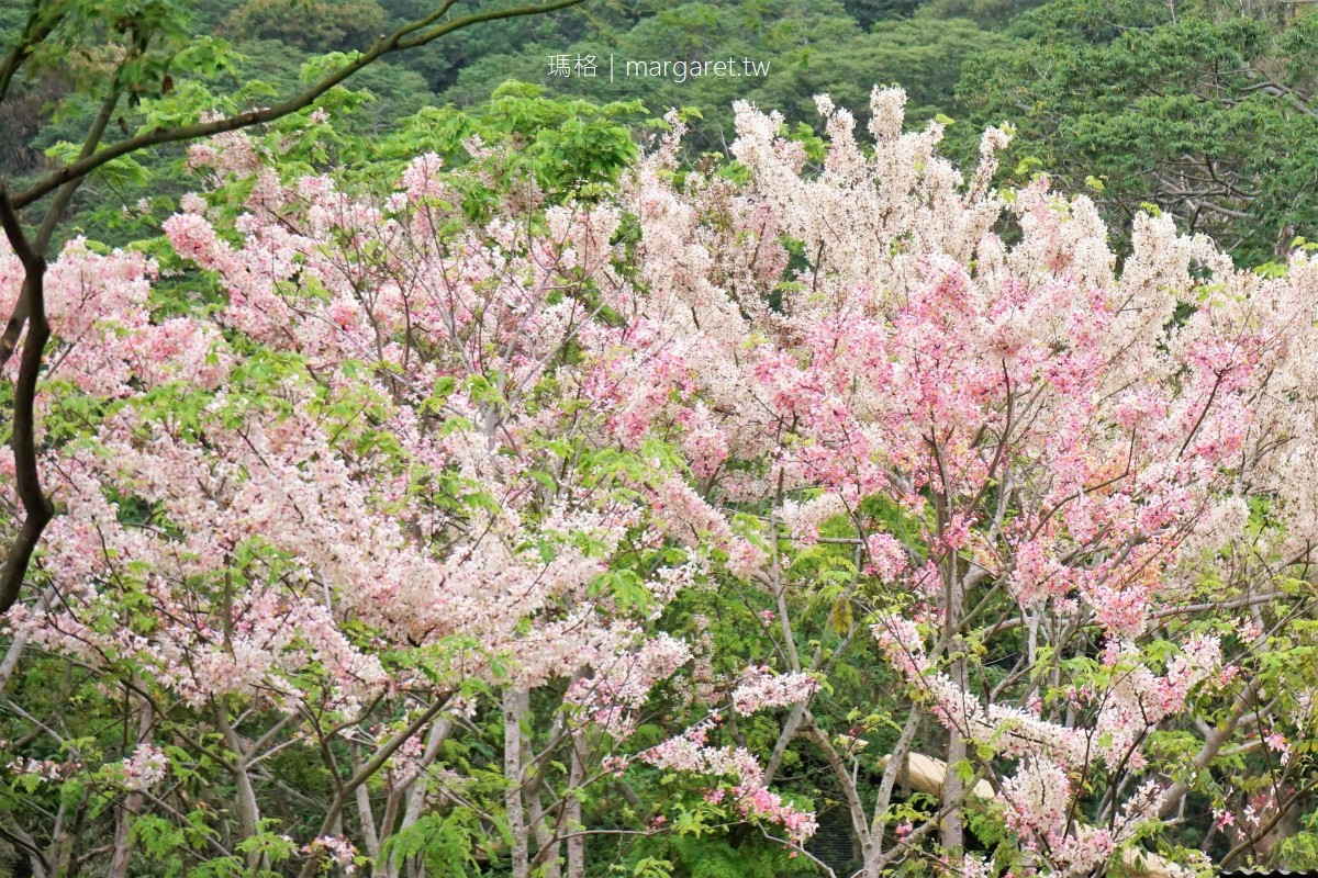 觸口遊客中心花旗木盛開。阿里山腳下平地櫻花4/19花況|交織、漂浮、動線穿梭的地景建築