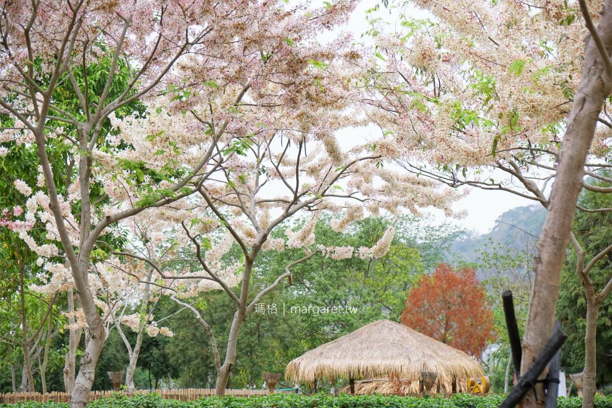 最新推播訊息:觸口花旗木盛開。阿里山腳下平地櫻花4/19花況