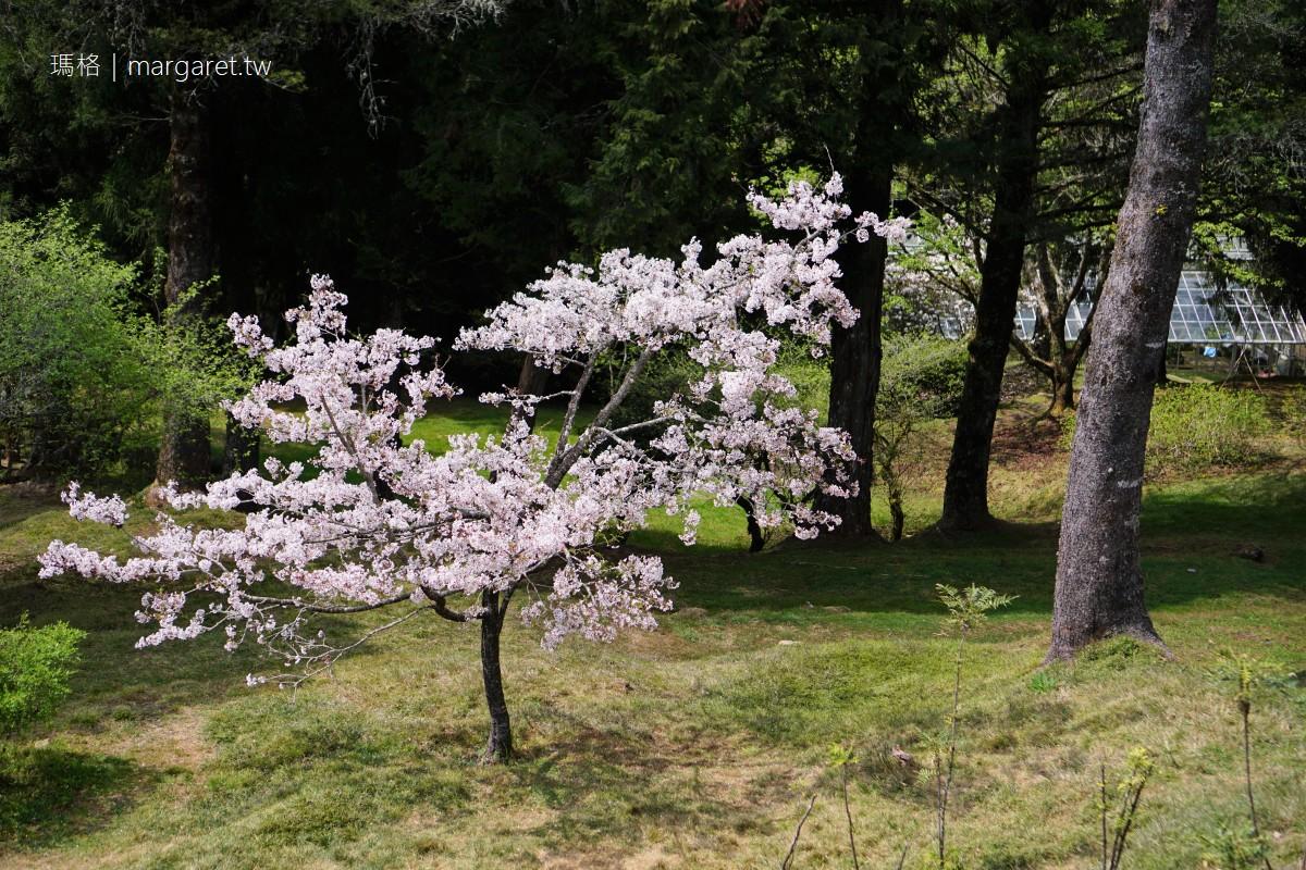 2021阿里山櫻花季。賞櫻景點10選 交通。訂房。行程 (持續更新)