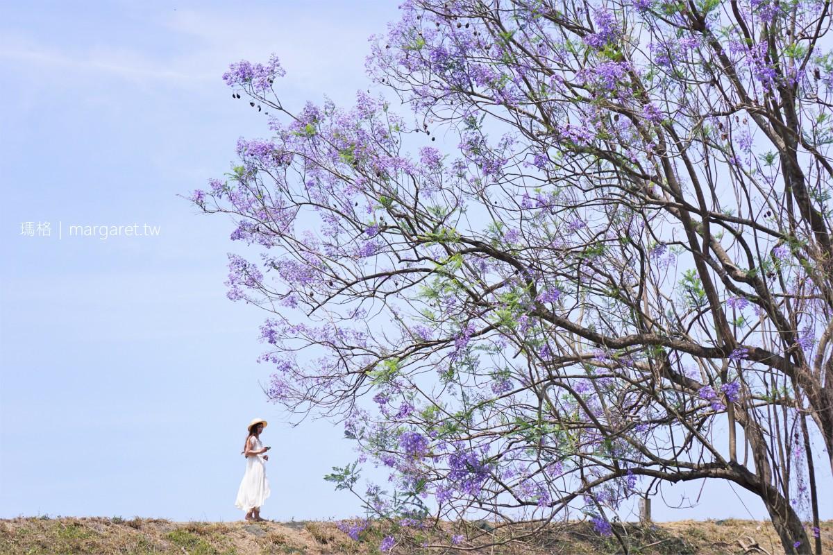 嘉義藍花楹隧道。沿著牛稠溪的浪漫藍紫色雲霧|全台最長巴西紫葳花道拍照心得。4/17花況