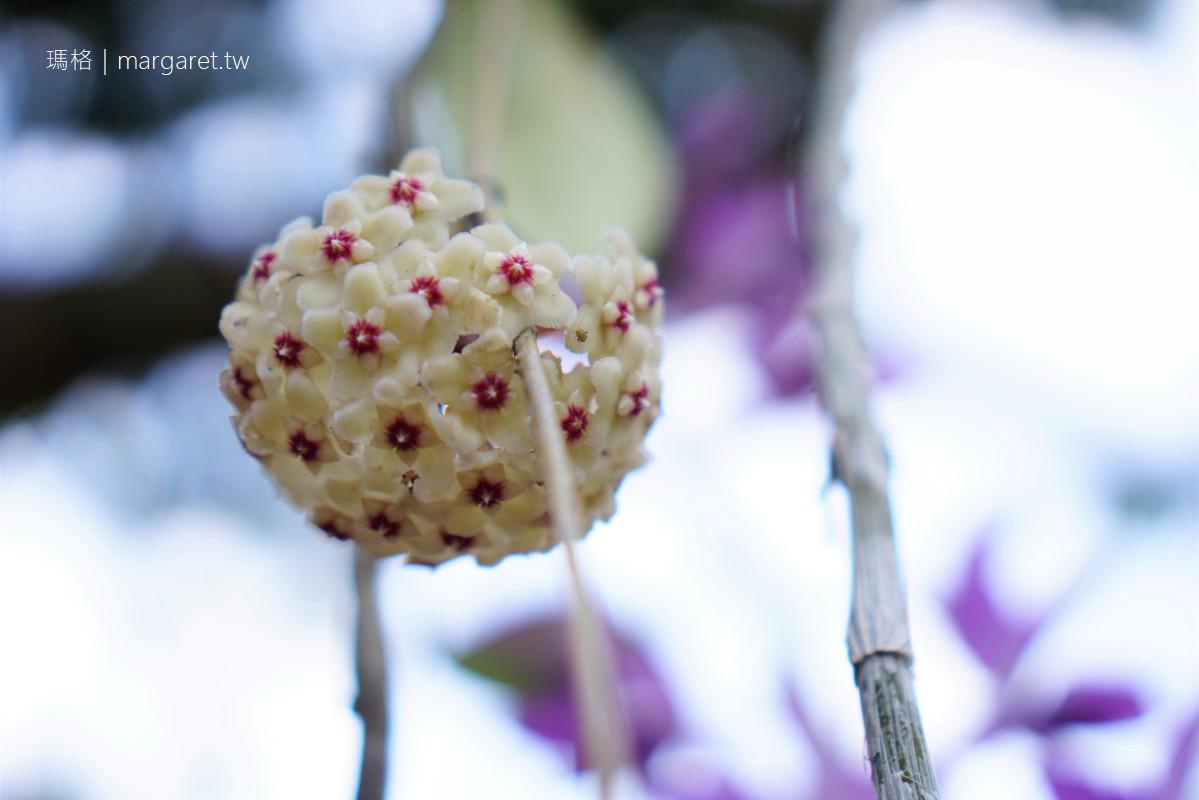 嘉義四月雪。圓林仔桐花祭52+14密碼|石斛蘭盛開成小瀑布。帽子是最好的網美