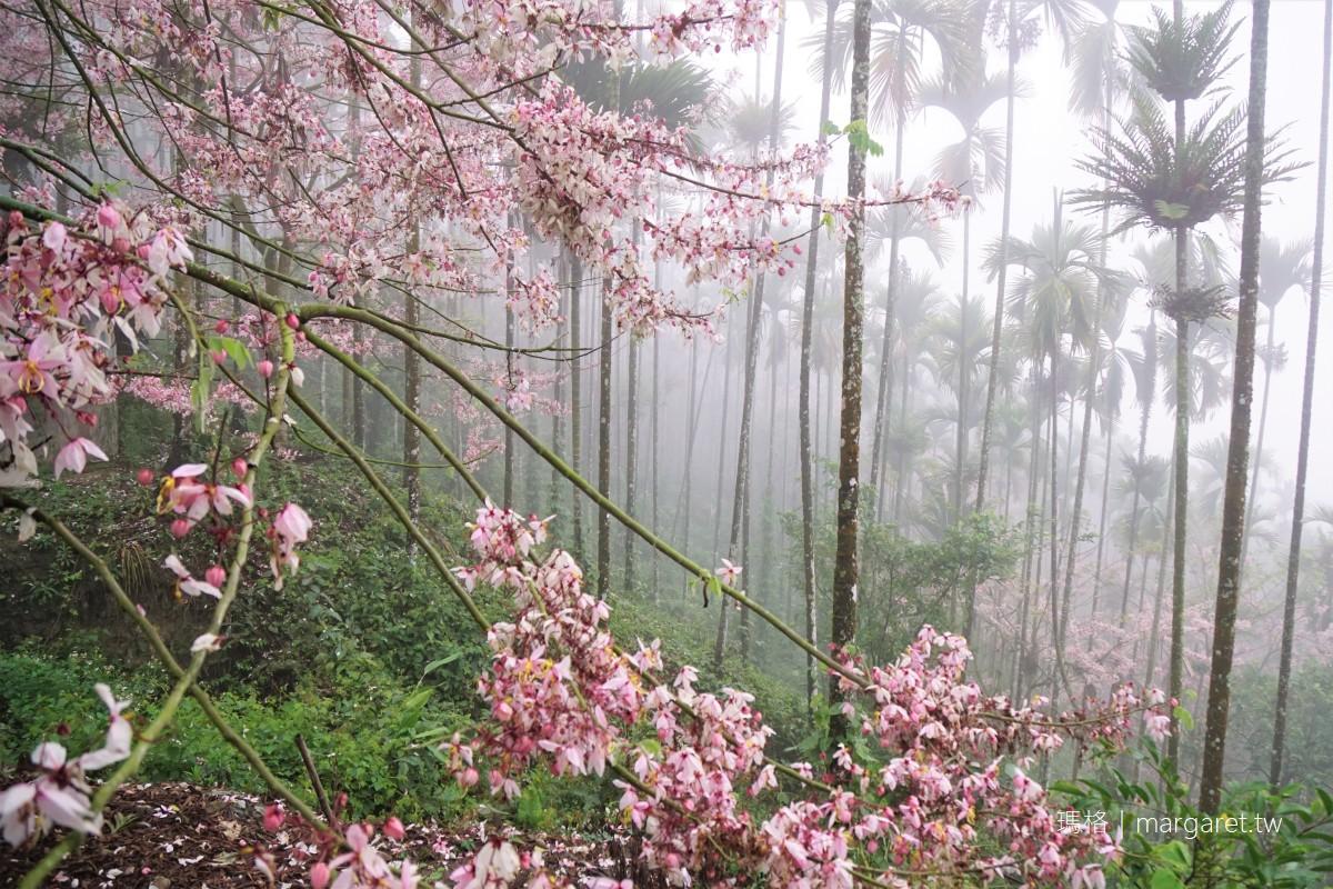 阿里山公路雲海。39.6公里處的夢幻花旗木|美如仙境