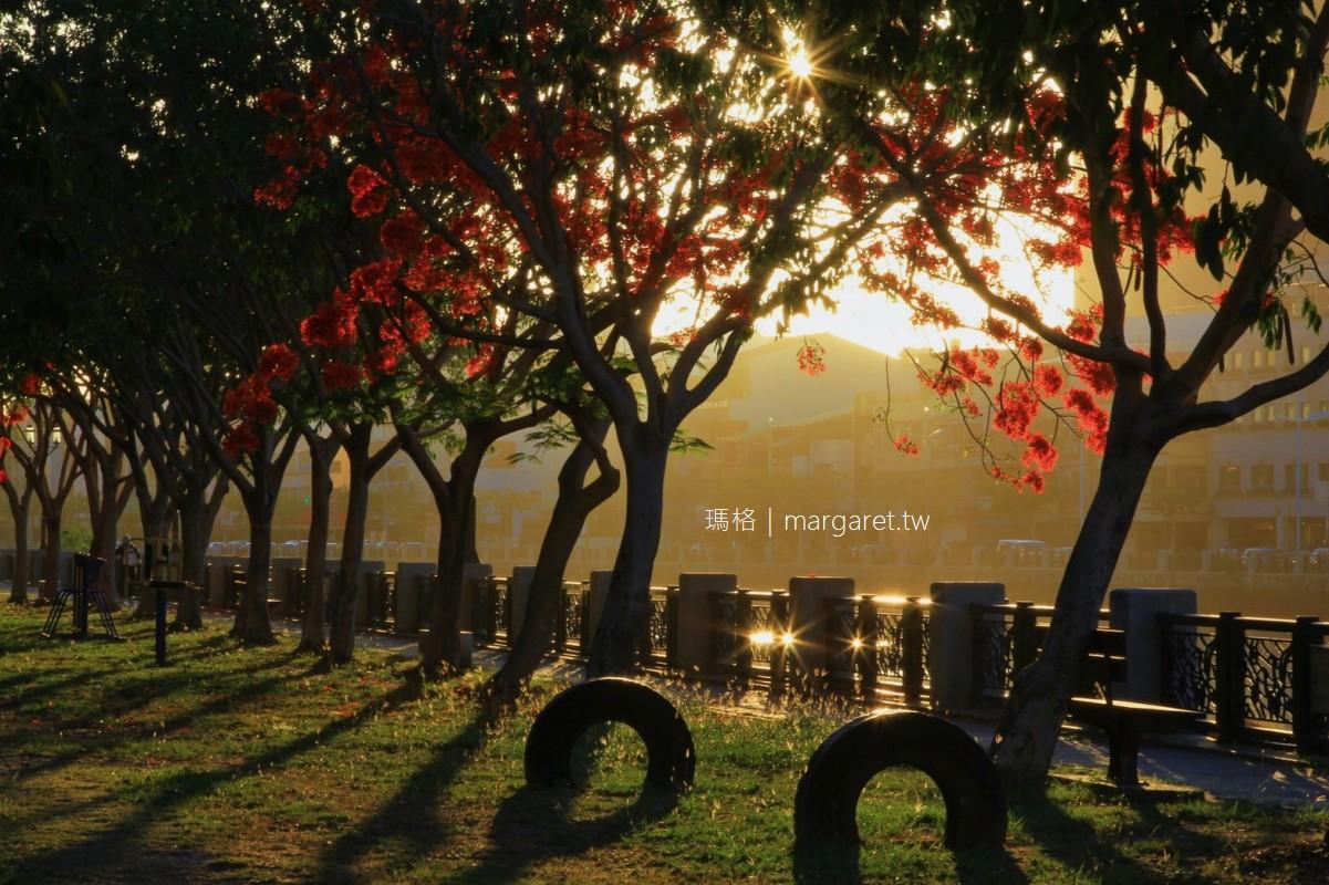 台南運河鳳凰花開。沿岸火紅一片|鳳凰城初夏盛事