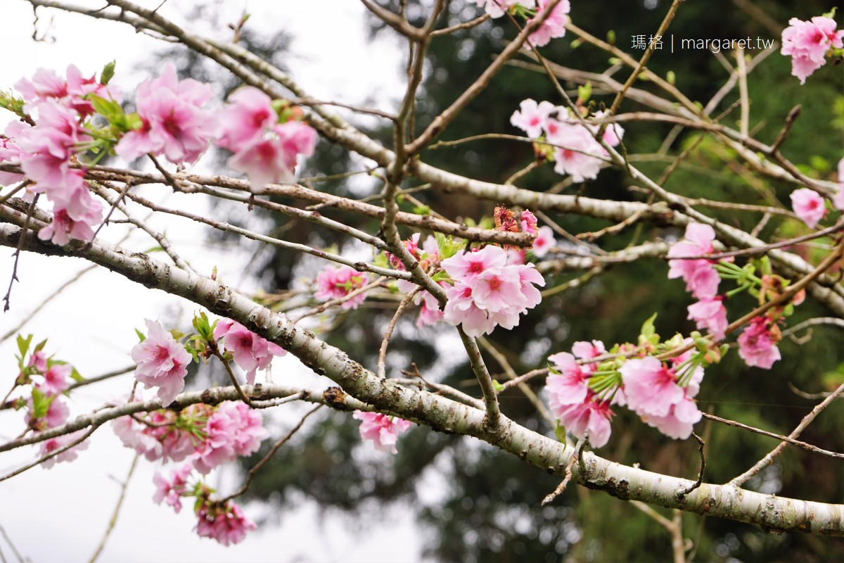 奮起湖百年肖楠樹林。台灣特有種|二月可賞櫻