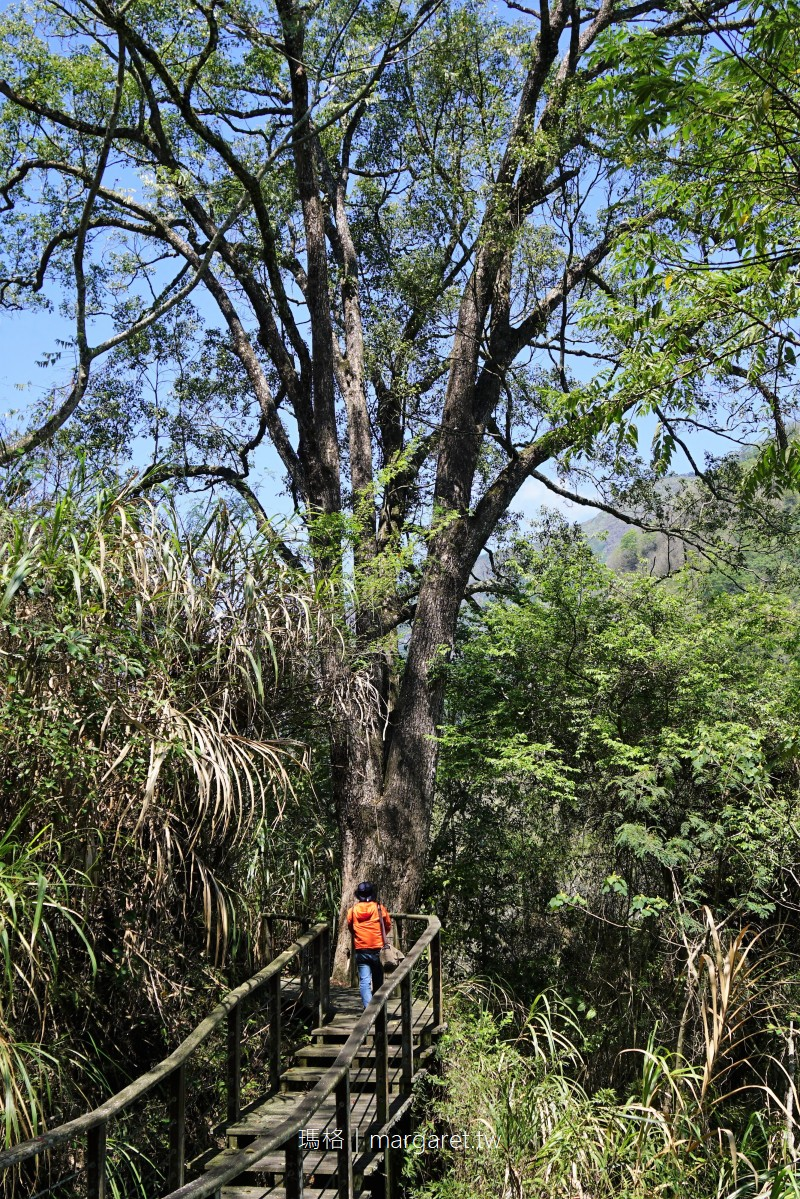 特富野步道。樟樹巨木群 串聯達邦部落、特富野部落的平緩林道
