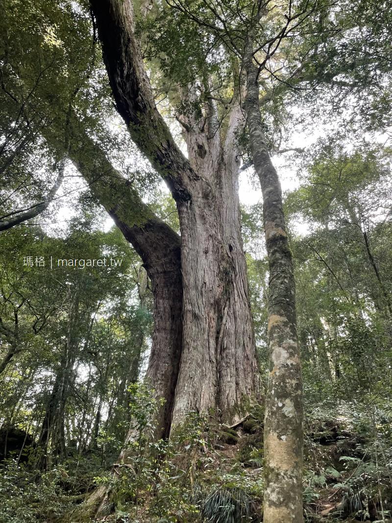 鎮西堡巨木群步道。全台最大檜木原始林|第一道曙光照耀的地方  #妞爸的運動日記