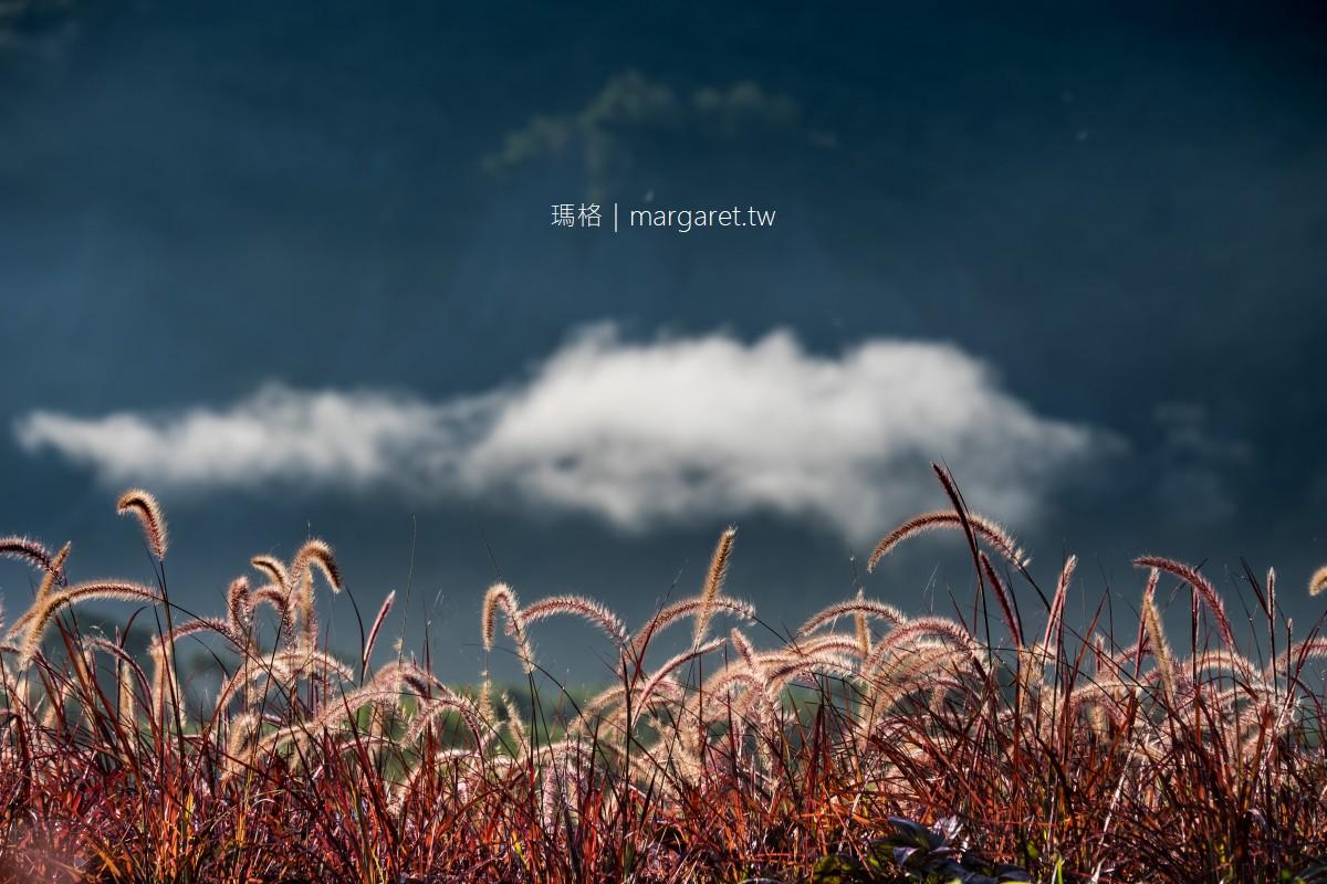 紫葉狼尾草。大地的紫夢|台東鹿野鄉公所旁田原美景