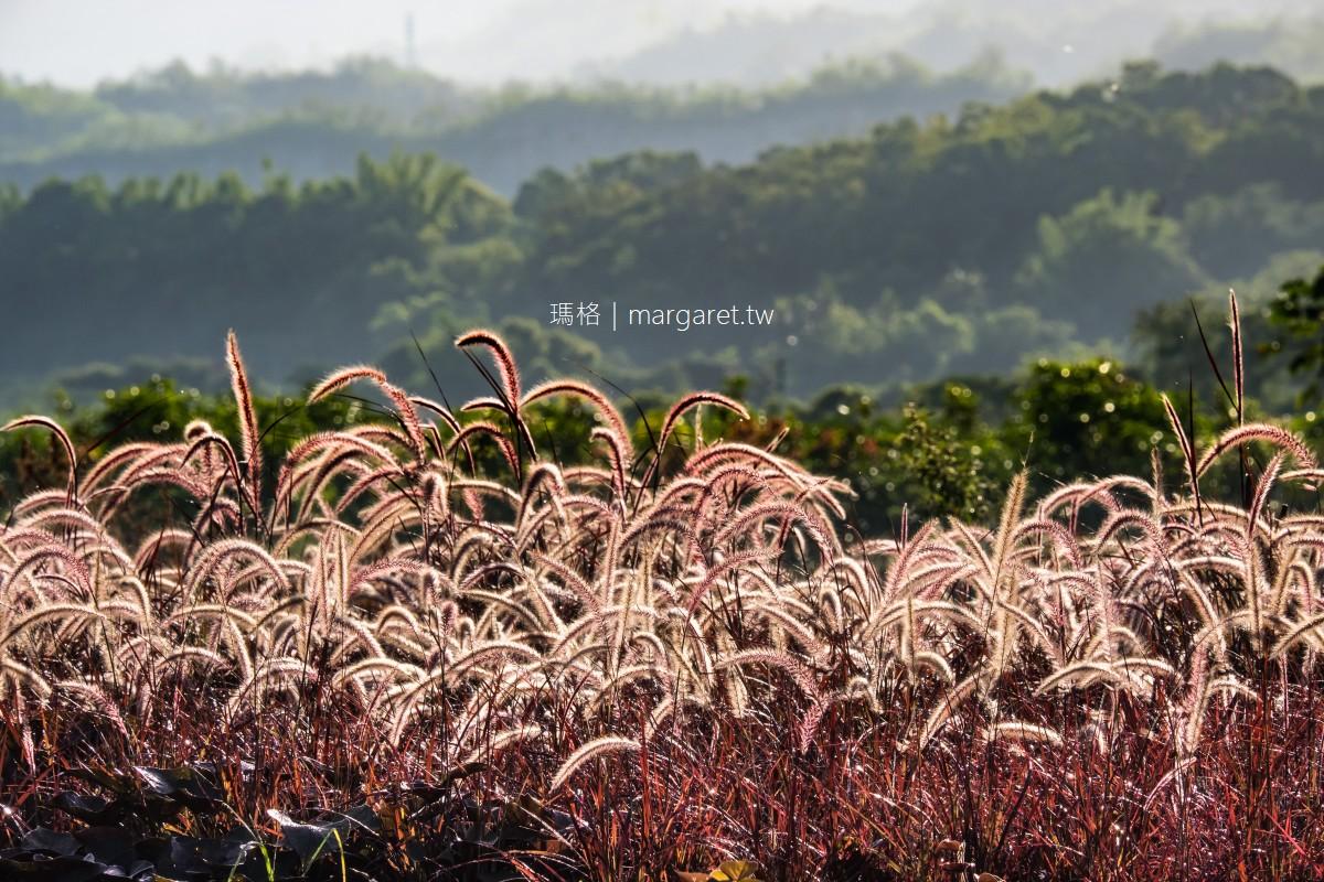 紫葉狼尾草。大地的紫夢 台東鹿野鄉公所旁田原美景