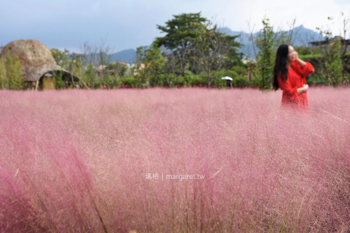 集集粉黛亂子草。真的是粉紅色嗎? 外來種的生態疑慮。不建議前往的理由
