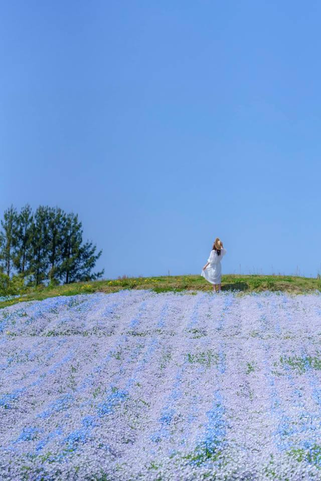 香川藤寺。萬福寺紫藤花雨|國營讚岐滿濃公園繽紛花海|三豐市春季花事