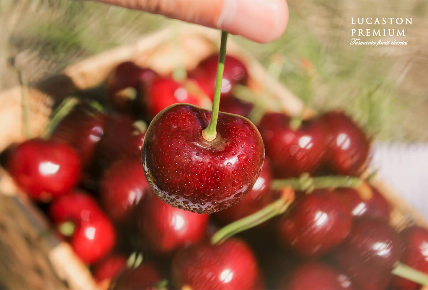Lucaston Premium伊嚐精品櫻桃。年度限量預購中|櫻桃愛好者味蕾的世界之頂