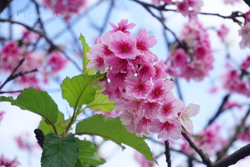 樂活公園櫻花盛開。台北賞櫻|2020內湖樂活夜櫻季 @瑪格。圖寫生活