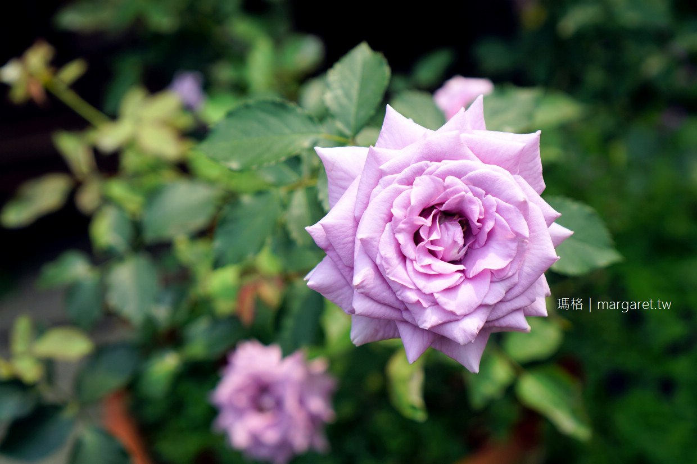 台北玫瑰園。低調浪漫的約會好地方|種植數百品種、超過2000株玫瑰