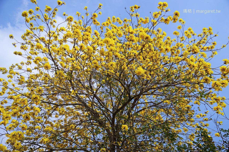 最新推播訊息:抓住黃金風鈴木的尾巴!南投鹿谷清水溝溪生態步道